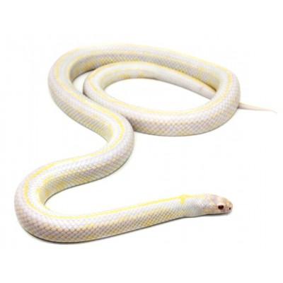 """Lampropeltis getulus californiae """"Albinos stripe"""" - Serpent roi de Californie"""