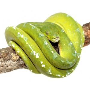"""Morelia viridis """"Sorong"""" - Python vert"""
