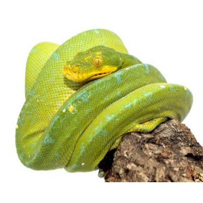 "Morelia viridis ""Kofiau"" - Python vert"