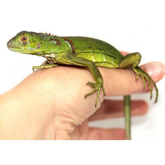 "Iguana iguana ""High green"" - Iguane vert"