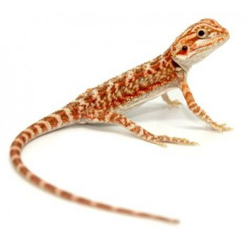 "Pogona vitticeps ""Hypo red tiger"" - Agame barbu"