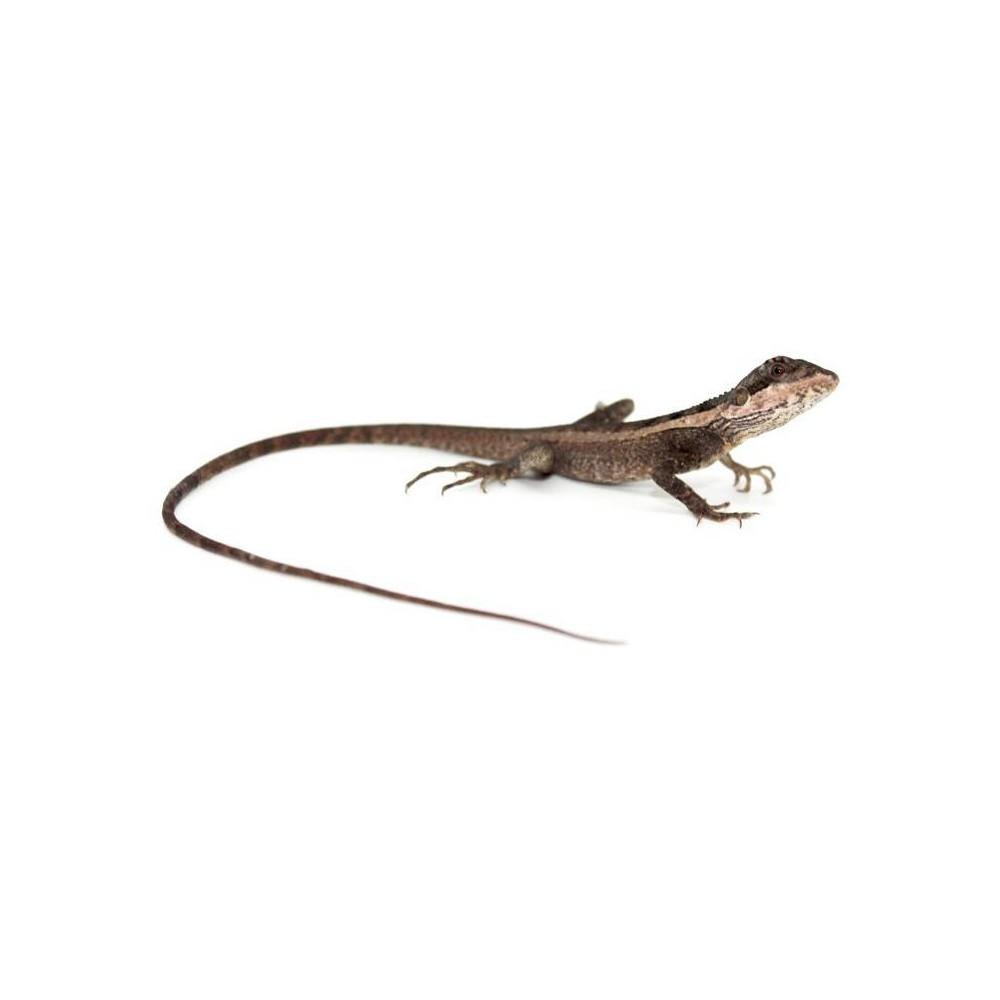 Tropicagama (Physignathus) temporalis - Dragon d'eau des marais