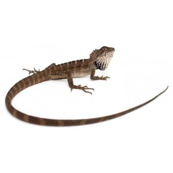 Hypsilurus magnus - Dragon des forêts de Papouasie-Nouvelle-Guinée