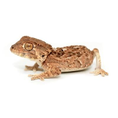 Tarentola chazialae - Gecko...