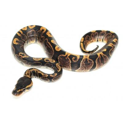 """Python regius """"GHI"""" -..."""