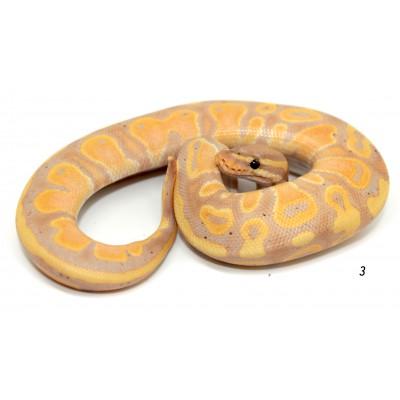 "Python regius ""Banana"" -..."