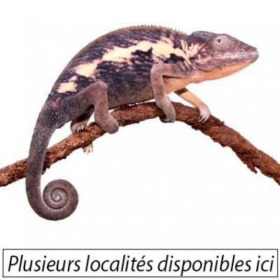 Furcifer pardalis ♀ -...
