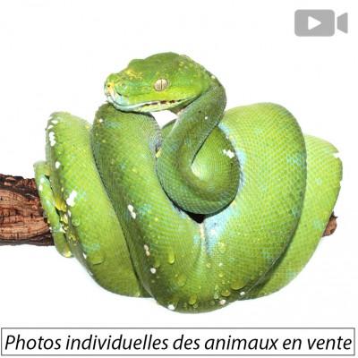 "Morelia viridis ♂♀  ""Aru"" -..."