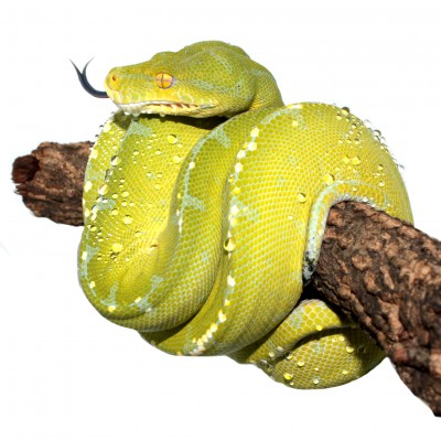 Morelia viridis ♀...
