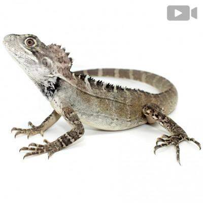 Hypsilurus magnus - Dragon...