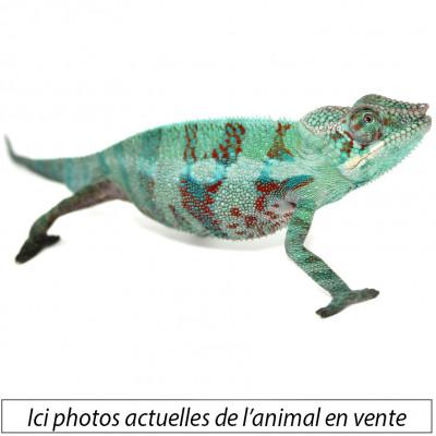 Furcifer pardalis ♂...