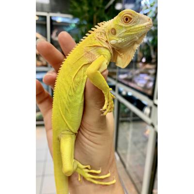 "Iguana iguana ♂ ""Albinos"" -..."