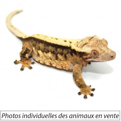 Correlophus ciliatus ♀...