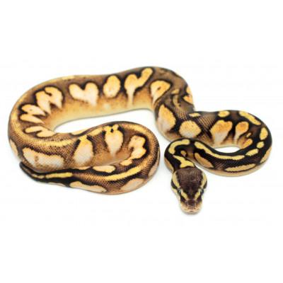 """Python royal """"Calico..."""