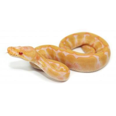 """Python regius """"Albinos..."""