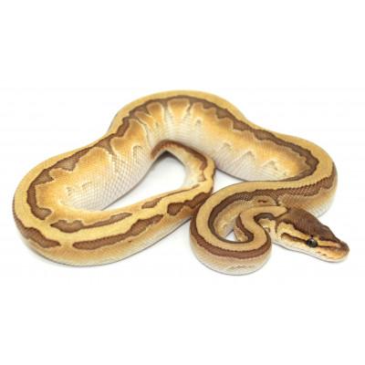 "Python regius ""King pin..."