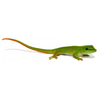 Phelsuma grandis - Gecko...