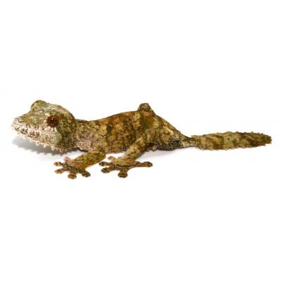 Uroplatus sikorae - Gecko...