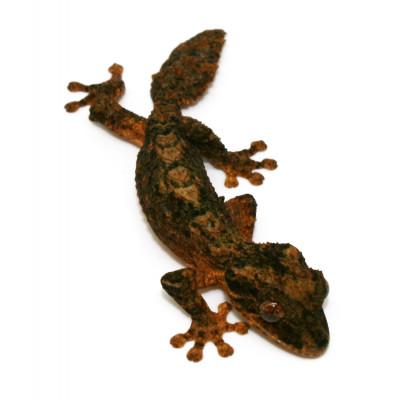 Uroplatus alluaudi - Gecko...