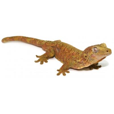 Mniarogekko (Rhacodactylus)...