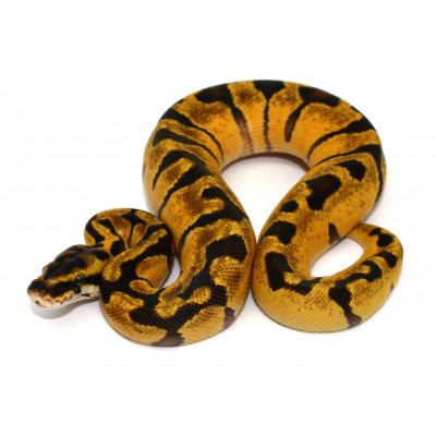 """Python regius """"Super Enchi""""..."""