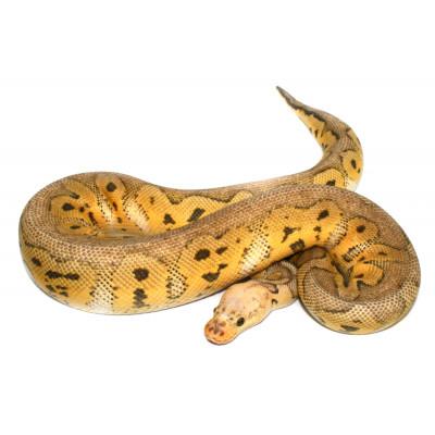 """Python regius """"Super pastel..."""