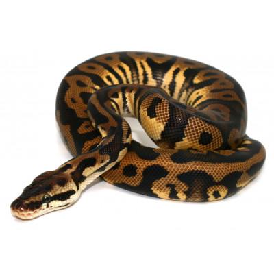 """Python regius """"Pastel..."""