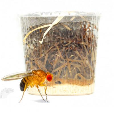 Drosophiles (Drosophila...