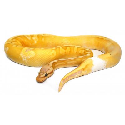 "Python regius ""Banana..."