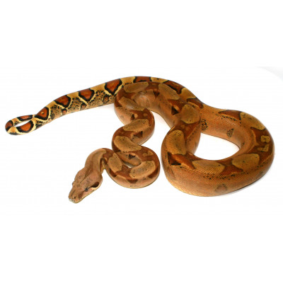 "Boa imperator ""Jungle"" -..."