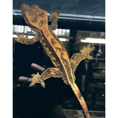Correlophus ciliatus...