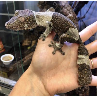 Uroplatus henkeli - Gecko à...