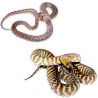 Autres pythons