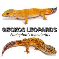 Eublepharis macularius / Geckos léopards