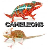 Caméléons à Lyon - Bebesaurus
