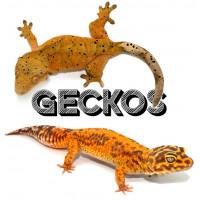 Geckos - Bebesaurus / Animalerie spécialisée reptile