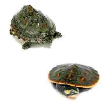 elevage de tortue aquatique