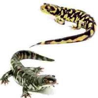 Salamandres à Lyon - Bebesaurus magasin animalerie à Lyon