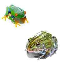 Autres grenouilles à Lyon