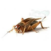 Insectes vivants - Criquets, grillons, vers, blattes, ...