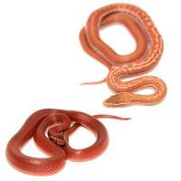 Boaedon / serpents des maisons