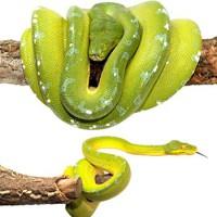 Morelia viridis / Python vert - Bebesaurus