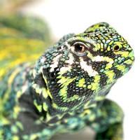 Reptiles soumis au CDC/AOE à Lyon