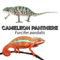 Furcifer pardalis - Caméléon panthère
