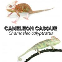Chamaeleo calyptratus - Caméléons casqué du Yemen