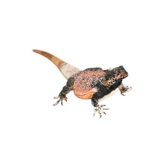 Sauromalus ater - Chuckwalla