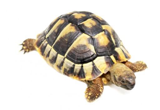 Acheter Une Tortue Terrestre Les Demarches Prelables Bebesaurus Specialiste Reptile