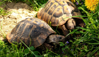 L'alimentation des tortues terrestres